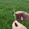 For the Grady County area, damage to wheat crops is mostly restricted to just a little discoloration at the top. Agronomists say only five percent of area crops suffered damage, while cold and drier weather in the southwestern area of the state, close to the Red River, has led to more loss.