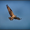 Osprey with flounder over Mutiny Bay