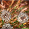 Dandelions - 3 (I like Dandelions!)