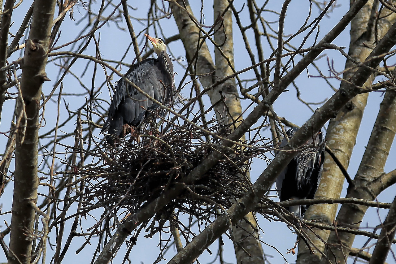 Great Blue Herons nesting in Marymoor Park.