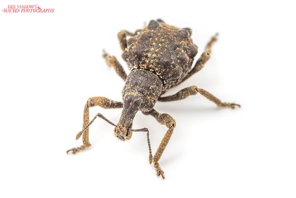 Brown Lumpy Weevil
