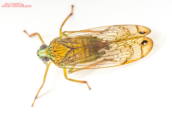 Palm Planthopper