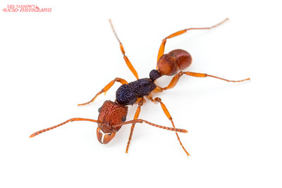 Red and Blue Ant