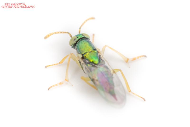 Psyllid Parasite Wasp