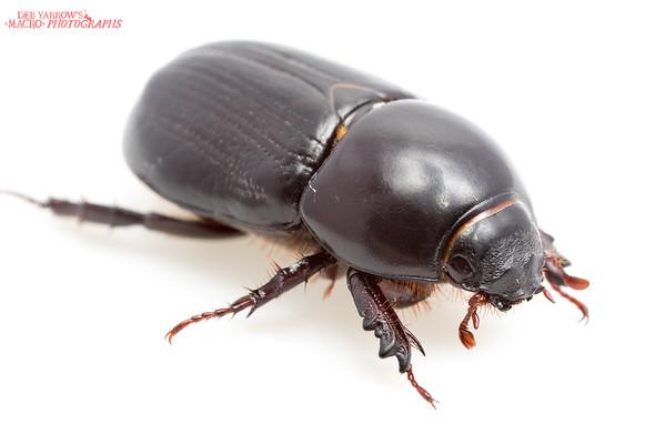 African Black Beetle