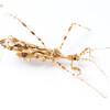 Thread-legged Assassin Bug