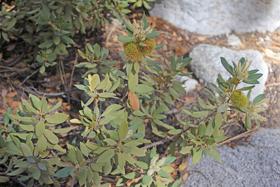 8/18/11 Bush Chinquapin (Chrysolepis sempervirens). Whitney Portal, Lone Pine region, Eastern Sierras, Inyo National Forest, Inyo County, CA