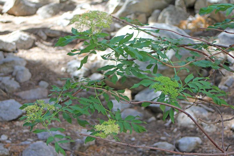 8/18/11 Blue Elderberry (Sambucus mexicana). Whitney Portal, Lone Pine region, Eastern Sierras, Inyo National Forest, Inyo County, CA