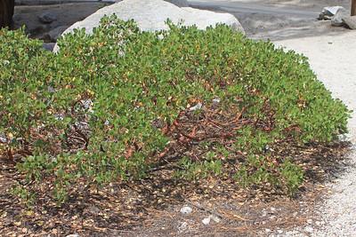 8/18/11 Greenleaf Manzanita (Arctostaphylos patula). Whitney Portal. Lone Pine region, Eastern Sierras, Inyo National Forest, Inyo County, CA