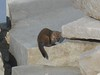 American Marten or Fisher on Whitney summit