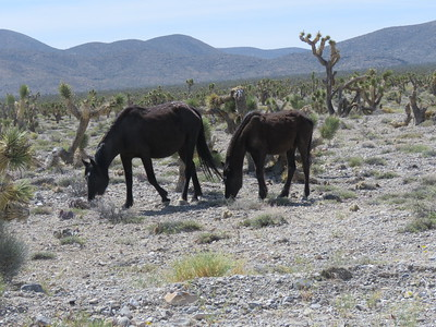 Wild Horses and Spring Mountains Visitor Center