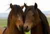 Wild Mustangs in WY
