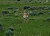 Pronghorn call the same area home