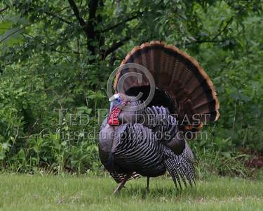 Wild Turkey 3