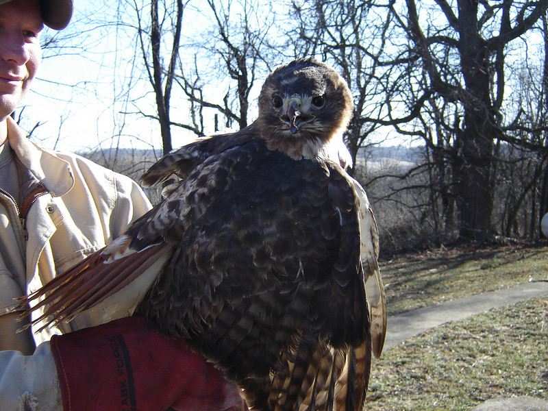 Kay's Son, Brian Retrived a Red Tailed Hawk that had a fly-in with  semi-Truck