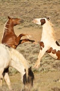 Wild Mustangs 5