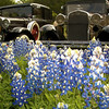 Old Fords and bluebonnets on Park Road 4