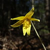 "Trout lily blooms in early spring with nodding one-inch yellow flowers, the petals (3) and petal-like sepals (3) recurved upward. Each plant sends up a single flower stem with a pair of leaves, but for the first 7 years of the plants life it will not flower.[3][4][6] In North America E. americanum does not reproduce very effectively via sexual reproduction with only 10% of pollinated flowers developing seeds.[7]<br /> <br /> In North America, trout lilies grow in colonies that may be up to 300 years old.[1][2] The individuals within a colony will often reproduce asexually via a ""dropper"" or from small corms budding off of the main corm. A dropper is a tubular fleshy stem that grows out from a parent corm, up toward the surface and then penetrates deep into the soil where another corm is formed from the tip of the dropper. Once the the daughter corm and the stem connecting the daughter and parent corm dies.[7]<br /> <br /> Trout lily is a myrmecochore, meaning ants help to disperse the seeds and reduce predation of the seeds. To make the seeds more appealing to ants they have an elaiosome which is a structure which attracts the ants.[8]"