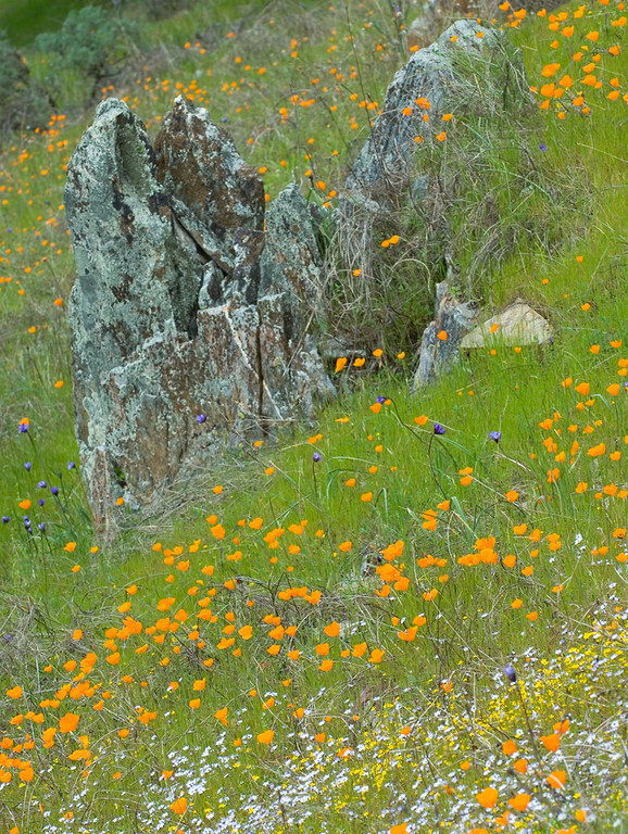 """Merced River Gorge: Poppies I""<br /> March 27, 2006"