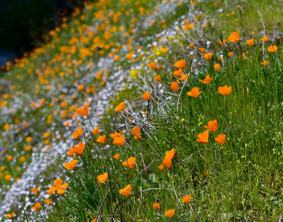 """Merced River Gorge: Poppies II""<br /> March 27, 2006"