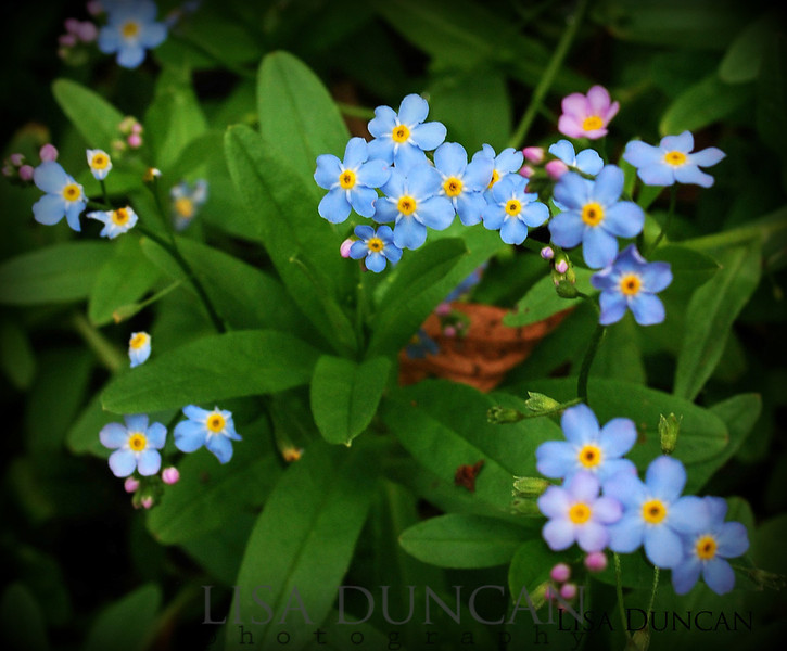 Forget me not.