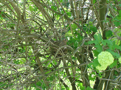 Dove On Nest 2