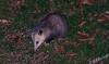 Captured this possum below our bird feeder.  Guessing it was looking for some unopened sunflower seeds.  Definitely not something I would ever consider having as a pet, but assuredly, his mother thinks it's the cutest thing on earth.
