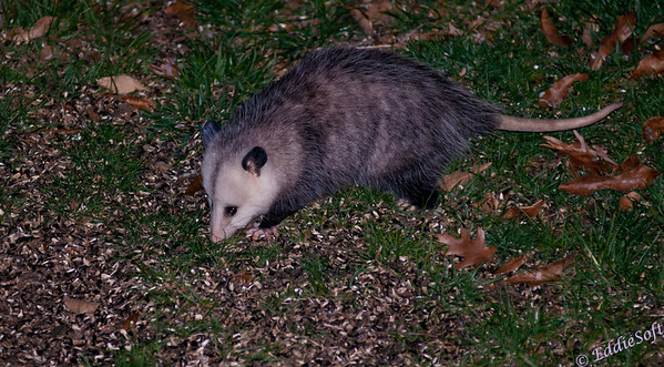 Captured this possum below our bird feeder.  Guessing it was looking for some unopened sunflower seeds.  This shot pairs up the creepy feet with the equally creepy tail.  It was interesting just how unconcerned it was with my picture taking.  It definitely knew I was there, but it just went about its business without care.