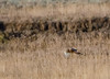 What appears to be a Harrier hunting the fields of Yellowstone National Park, October 2011 - this did not come out as crisp as the other ones in the large bird gallery, but adding this for a markings reference to help identify it