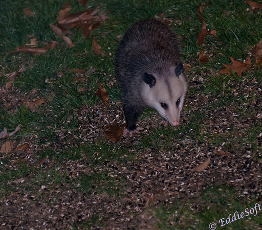 Captured this possum below our bird feeder.  Guessing it was looking for some unopened sunflower seeds.  This shot actually gives a better view of the creepy feet these creatures possess.  probably could have backed the flash power off some, but it was dead of night and zoomed in pretty good so wasn't sure it would carry the required distance.