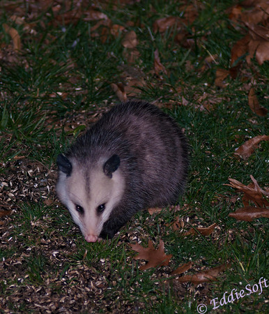 Captured this possum below our bird feeder.  Guessing it was looking for some unopened sunflower seeds.  Of all the creatures that visit us at night, I have to say the possum has to be the least cute of them all.  The are actually pretty mean as well.  When the raccoons get a little close they will open that mouth and display a wicked set of razor teeth.