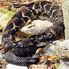 Timber Rattler, Pisgah National Forest