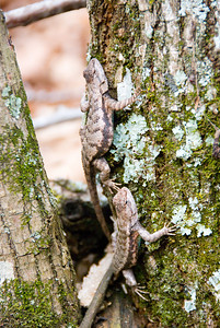 two lizards...in the Arkansas Ozarks