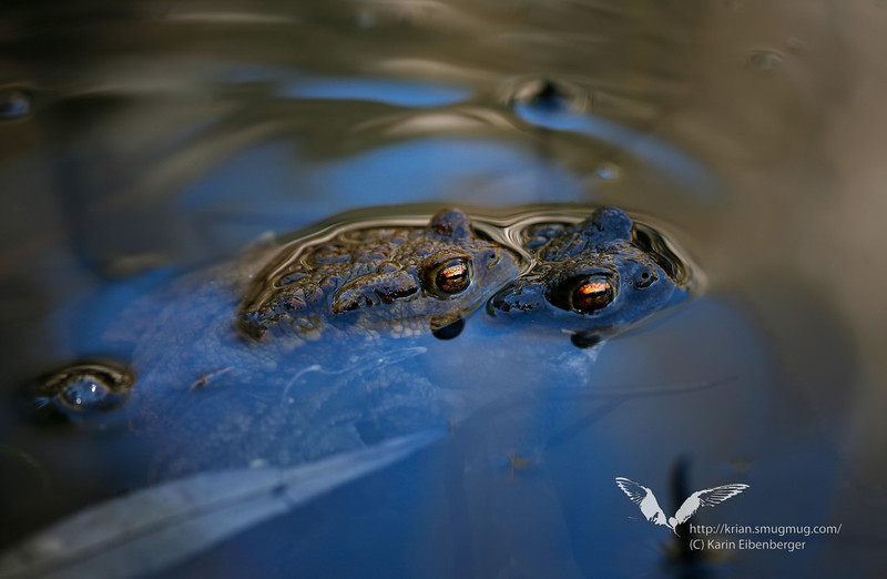 April 2011. Toads in a small pool in the Gesäuse national park near Johnsbach.