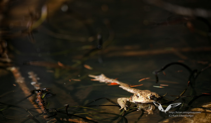April 2011. A toad in a small pool in the Gesäuse national park near Johnsbach