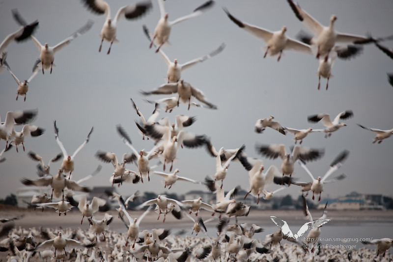 November 2011. Thousands of Snow Geese gather at Prime Hook, Maryland, during fall migration.