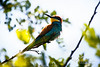 Bee-eater in a colony in Burgenland. These are birds that used to live much more south but due to the climate change they begin to inhabit new areas in the north.
