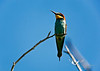 A bee-eater in a colony in Burgenland.