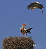 Two storks repairing their nest on a rooftop in Rust/Burgenland.