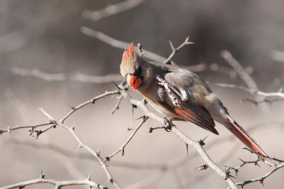 0901_Cardinals_011