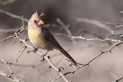 0901_Cardinals_009