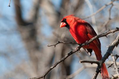 0901_Cardinals_003