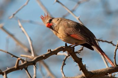 0901_Cardinals_037