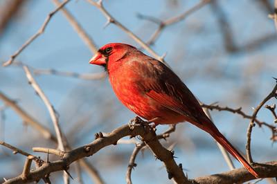 0901_Cardinals_017