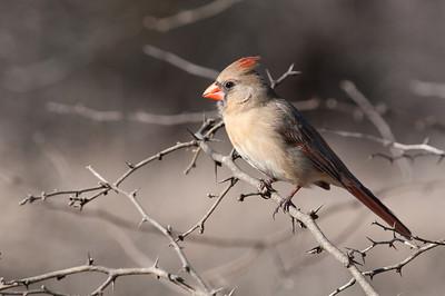 0901_Cardinals_010