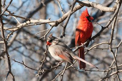 0901_Cardinals_025