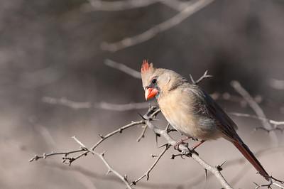 0901_Cardinals_012