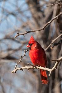 0901_Cardinals_032