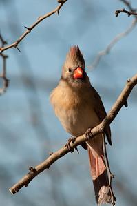 0901_Cardinals_015