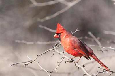 0901_Cardinals_005